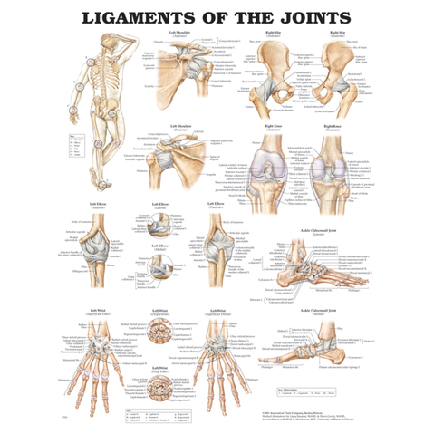 Ligaments of the Joints Anatomical Chart at ELIVATE™ is a Detailed Resource for Therapeutic Professionals