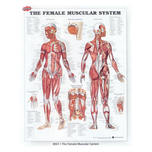 Female Muscular System Chart at ELIVATE™ is Full Color & Comprehensively Annotated