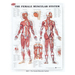 The Female Muscular System Chart
