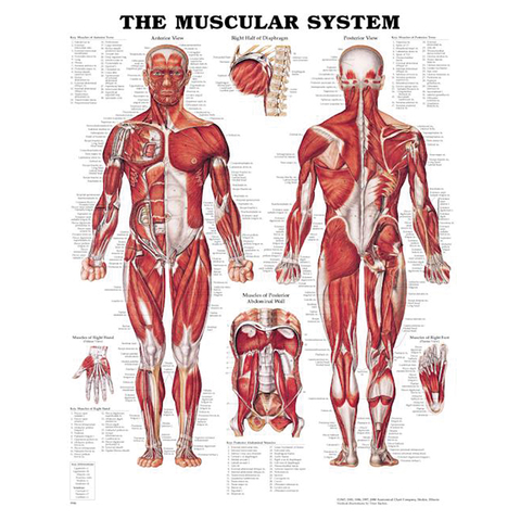 The Muscular System Chart & More at ELIVATE™