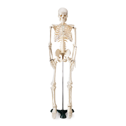 Mr. Thrifty Skeleton: Affordable, Compact Skeleton Model For Teaching at ELIVATE™