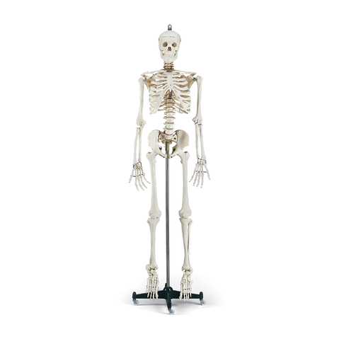 Budget Bucky Skeleton with Metal Base & More at ELIVATE™